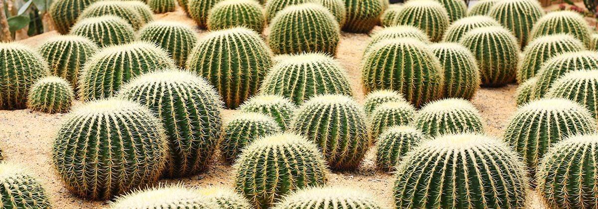 Las biznagas cactus globosos gigantes desconocidos for Suculentas santiago