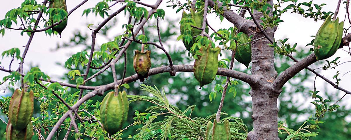 Hallazgo culinario: Bonete, fruta mexicana de primavera