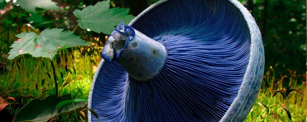 El hongo azul, hallazgo culinario en el centro-occidente de México