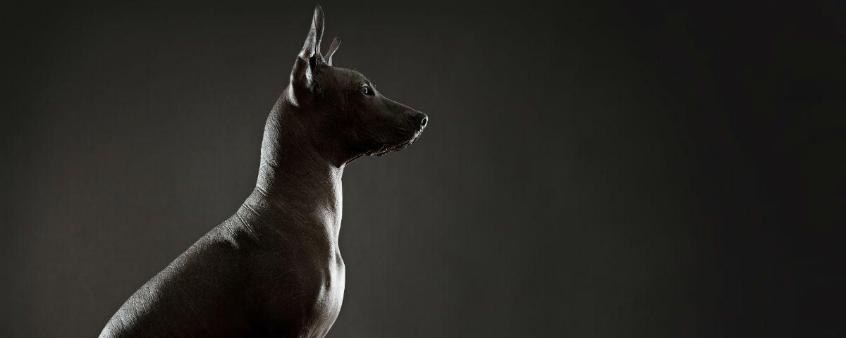 La historia del xoloitzcuintle, el perro mexicano