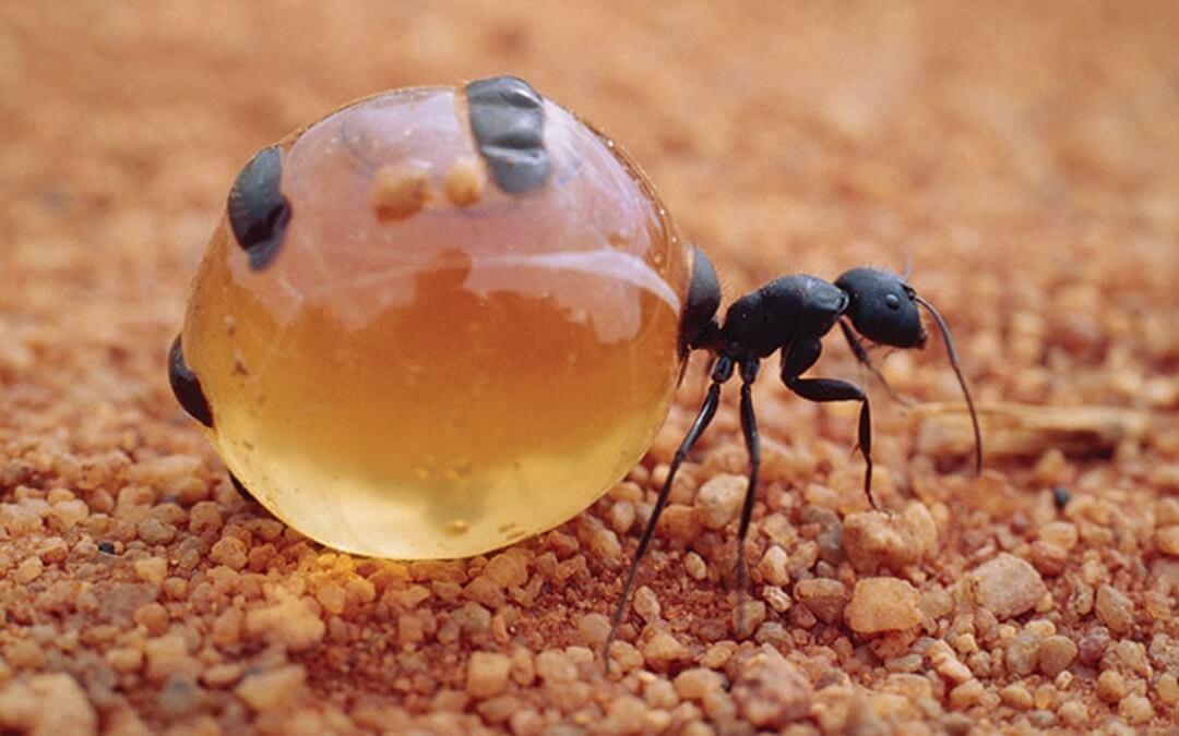 La hormiga que hace miel vive en San Luis Potosí