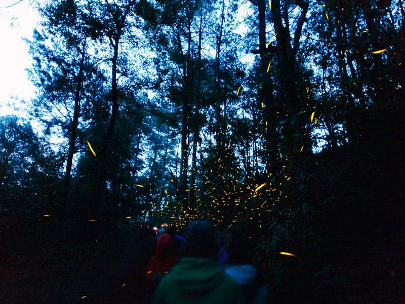 Abren nuevo santuario de las luciérnagas en Michoacán