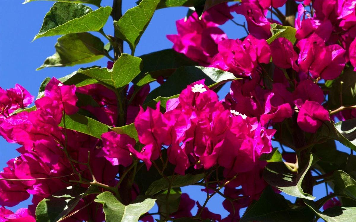 La bugambilia y sus propiedades medicinales