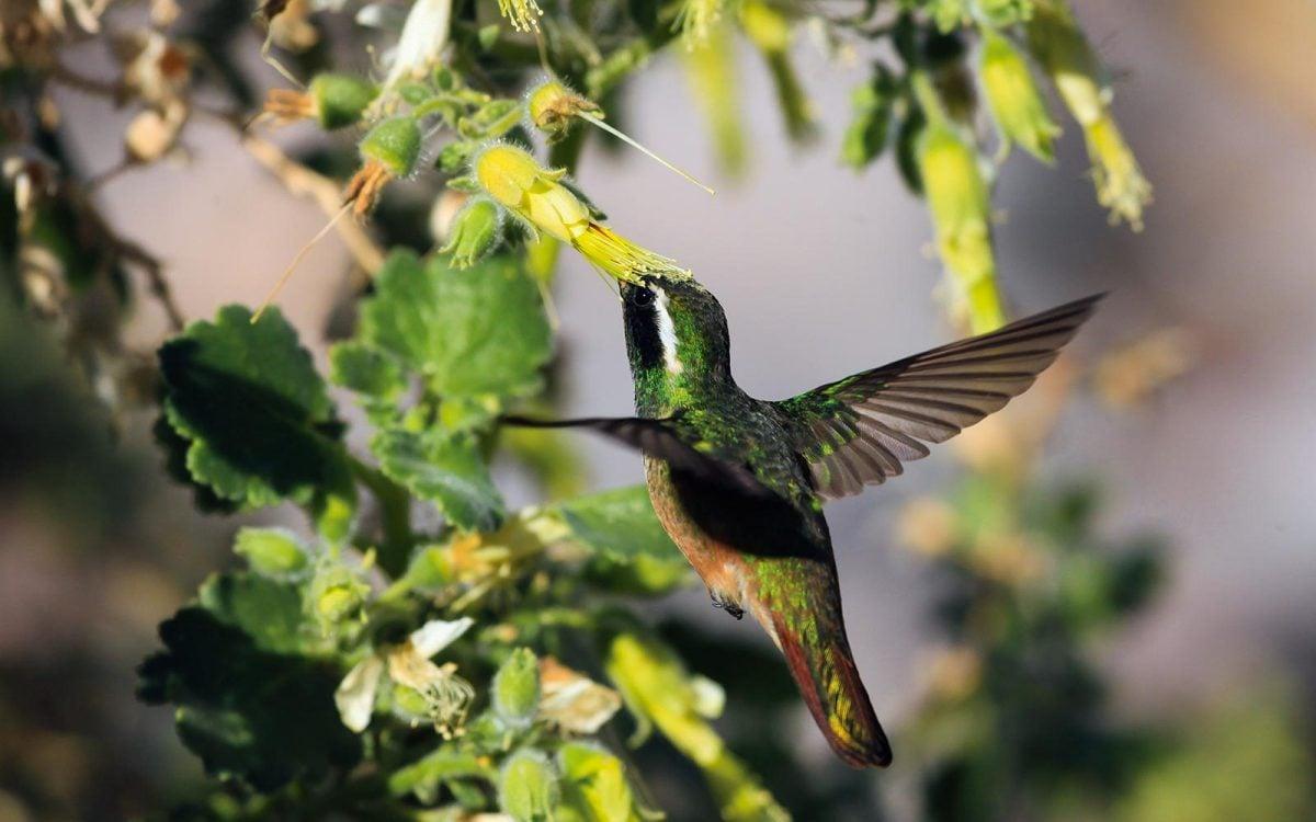 Los jardínes de colibríes de la UNAM