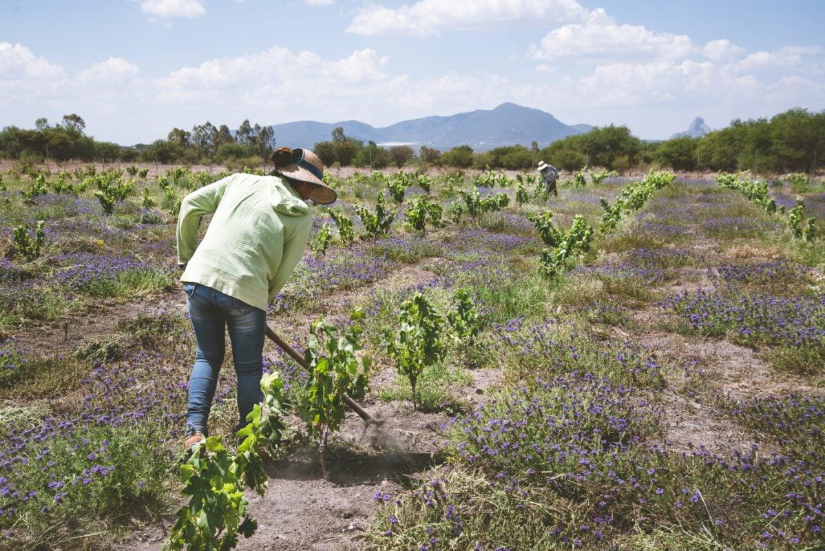 San Juanito, vive la vendimia en Querétaro