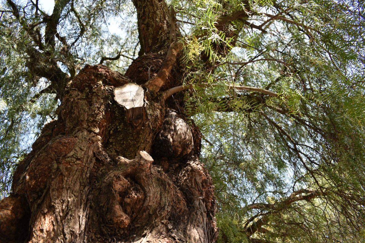 La leyenda de la bruja que encerró almas de niños en un árbol