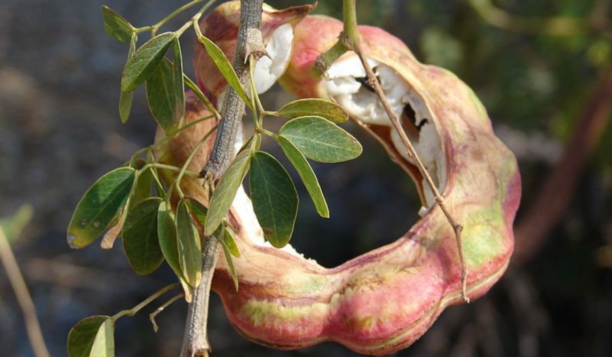 Guamúchil, la dulce vaina silvestre mexicana que casi nadie conoce