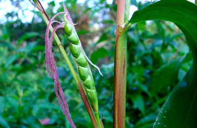 Teocintle, antepasado del maíz