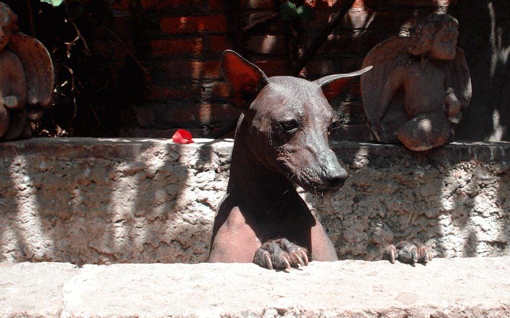 Xoloitzcuintle: acompañante fiel hasta la muerte
