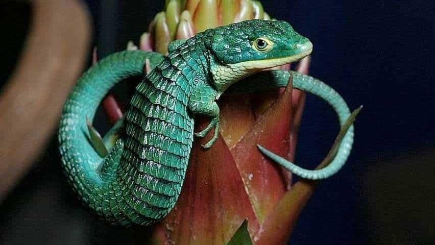 El dragoncito azul, un reptil de colores fantásticos