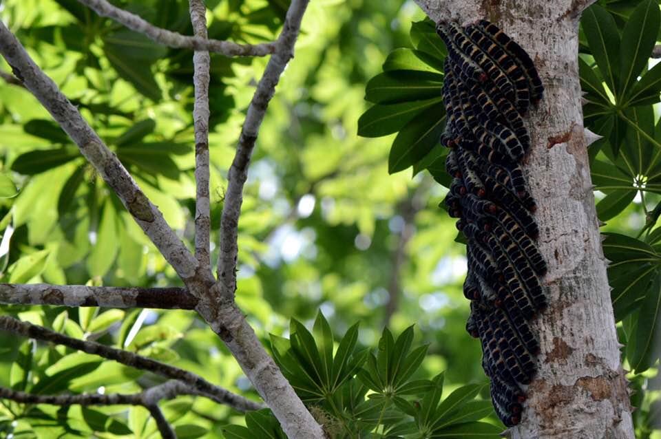 Zats, los gusanos que son manjar de la cocina indígena chiapaneca