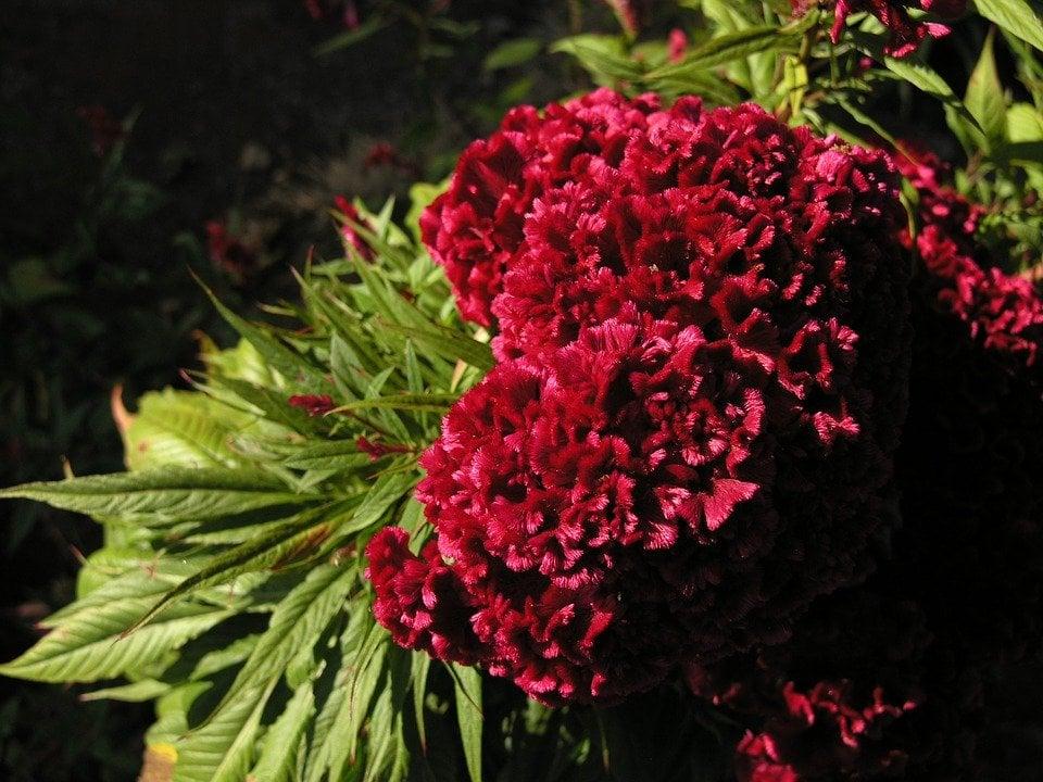 Flor de terciopelo o mano de león, una planta comestible