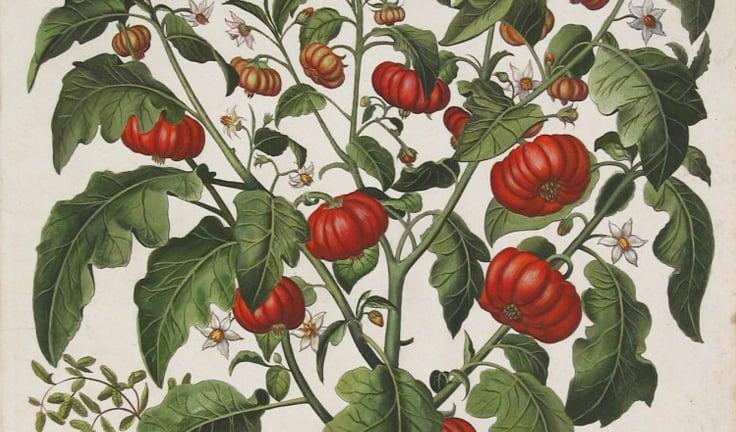 El jitomate, el fruto prehispánico que México regaló al mundo